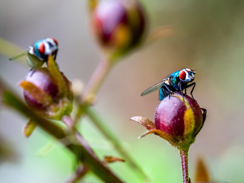 Bromvliegen