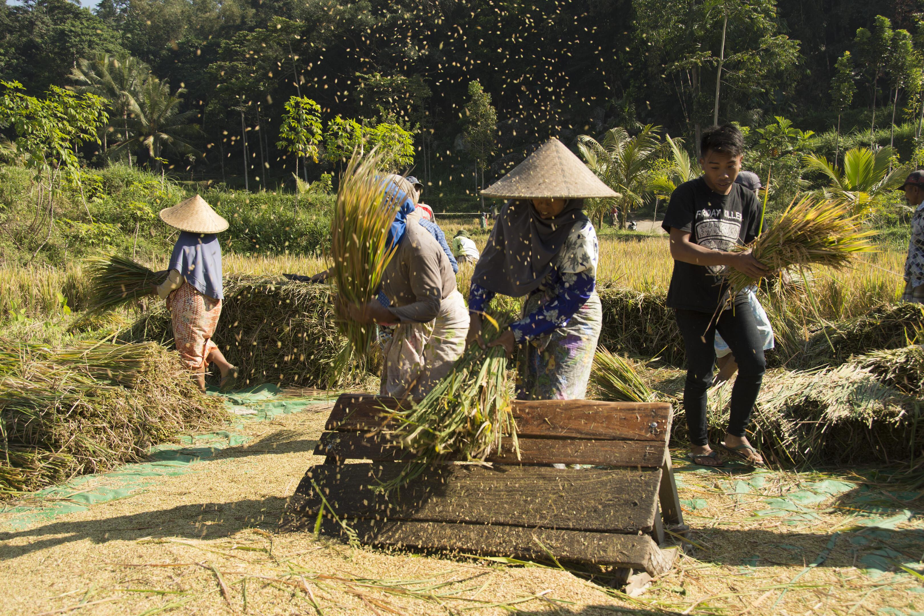 Rijstoogst op Lombok, Indonesië